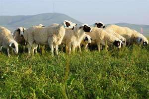 有机察哈尔羊